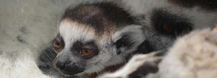 Oasis Park Lemurs
